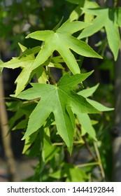 American sweetgum leaves - Latin name - Liquidambar styraciflua