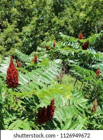 American or Texas Sumac tree with multiple bunches of red berries