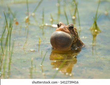 American toad (anaxyrus americanus) with its vocal sac all puffed upu
