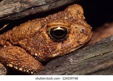 An American Toad (Bufo Americanus) hiding inside of a log