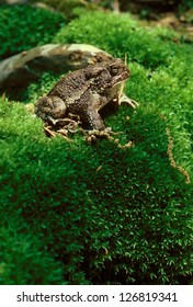 An American Toad (Bufo americanus) on a moss covered hill