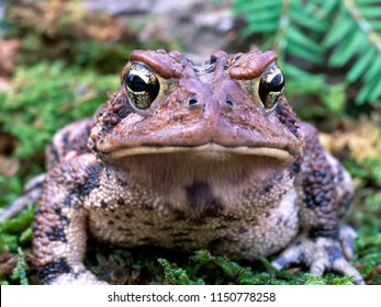 American Toad Face