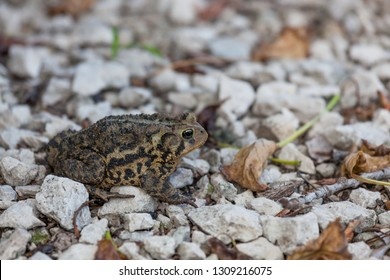 An American toad sitting still on white gravel rocks with sticks and leaves.