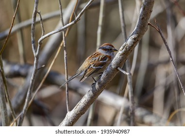 An American Tree Sparrow in the bushes at Kensington Metropark, Milford, Michigan.