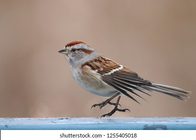 American Tree Sparrow Hopping