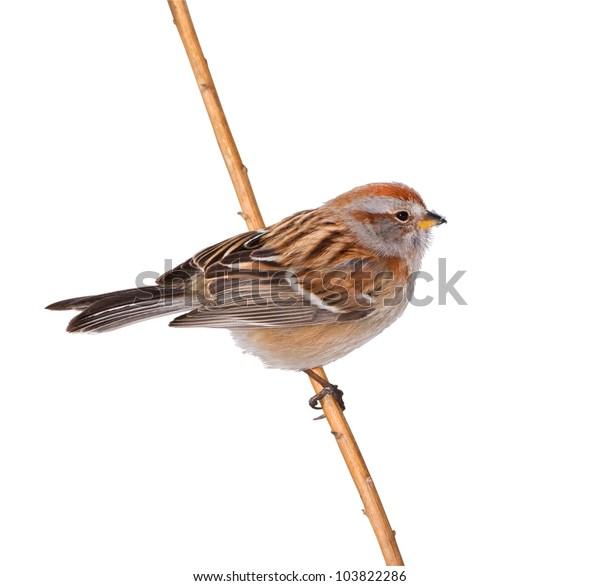 American Tree sparrow. Latin name - Spizella arborea. Isolated on white.