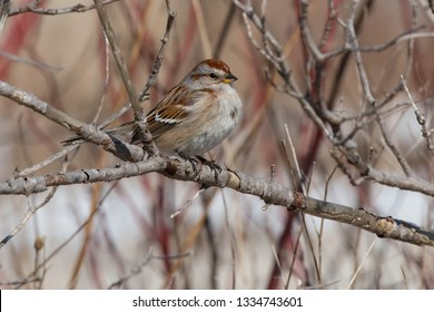 An American Tree Sparrow is perched on a bare branch. Also known as a winter Sparrow. Canada.