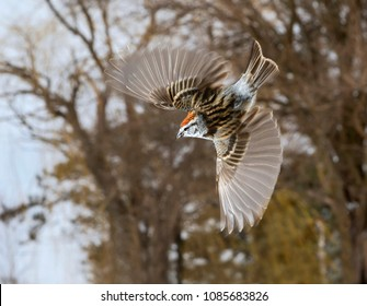 American tree sparrow (Spizella arborea) flying in the forest, Iowa, USA