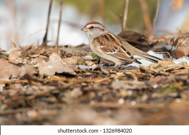 American Tree Sparrow standing in the leaf litter under the trees. Also known as a Winter Sparrow. Ashbridges bay Park, Toronto, Ontario, Canada.