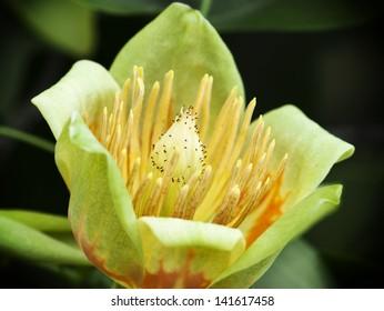 American tulip tree (Liriodendron tulipifera) in blossom.
