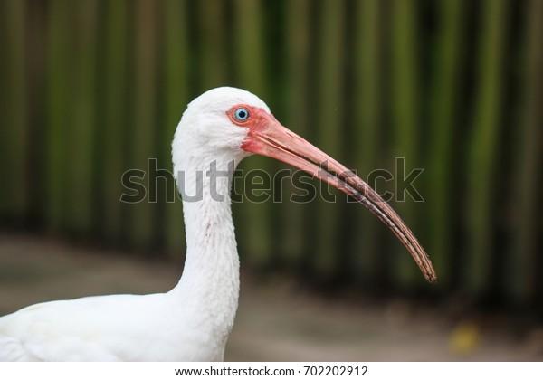 An American White Ibis bird in Florida.