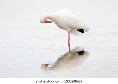 American White Ibis (Eudocimus albus) preening and grooming in shallow water at Ft. Desoto Park near St. Pete Beach, Florida.