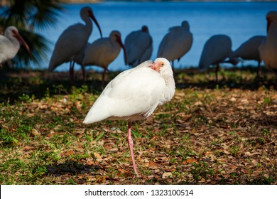 American white ibis (Eudocimus albus) resting on one leg with lake in background - Topeekeegee Yugnee (TY) Park, Hollywood, Florida, USA