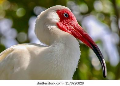 American White Ibis Portrait, closeup, bokeh lights background