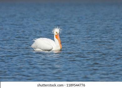 An american white pelican with a bad hairdo swims a deep blue lake.