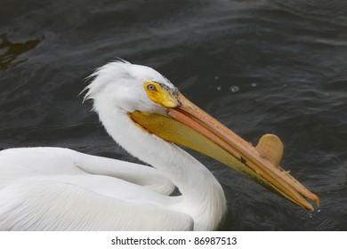 American White Pelican close up in water Canada