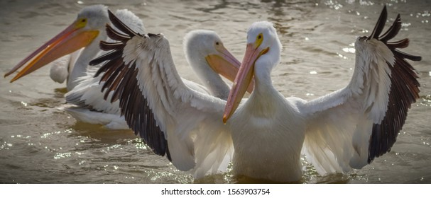 American white pelican conducts the orchestra.