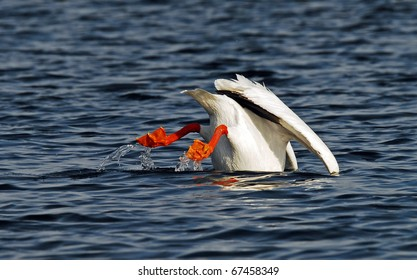 """American white pelican dipping """"bottoms up"""" into lake"""