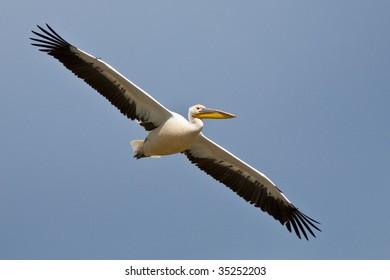 American White Pelican in flight