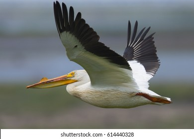 American white pelican in flight, seen in North California