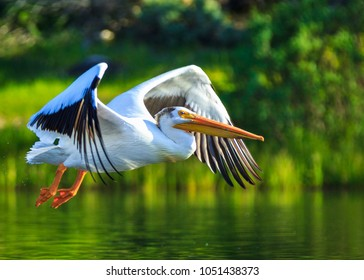American White Pelican Flying in Grand Lake, Colorado with a Green Background