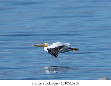 An American white pelican flying low over a The Salton Sea