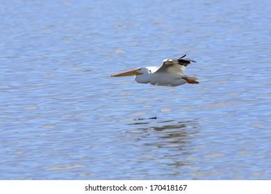 American White Pelican flying in Salton Sea, California.