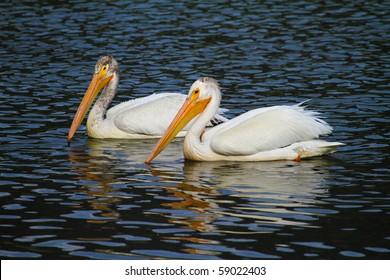 American White Pelican - Grand Teton National Park