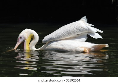 An american white pelican hunting for fish