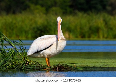 American white pelican , lake in Wisconsin