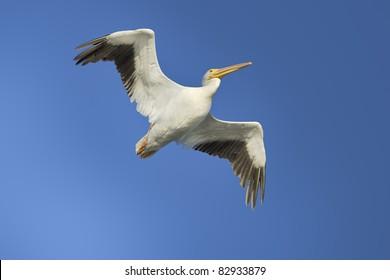 American White Pelican, latin name -  Pelicanus erythrorhynchos.