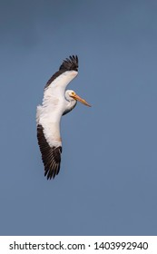 An American white pelican, one of North America's largest birds, banks sharply in flight against a dark blue sky at Ding Darling National Wildlife Refuge on Sanibel Island, Florida.