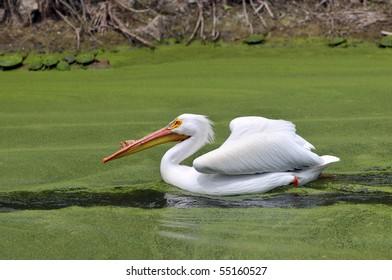 American White Pelican Paddles thru Murky Water