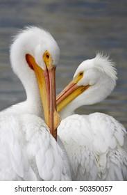 American White Pelican Pair in Mating Plumage