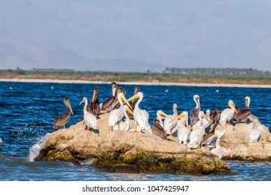 American White Pelican (Pelecanus erythrorhynchos) and Brown Pelican (Pelecanus occidentalis) on Salton Sea, Imperial Valley, California, USA