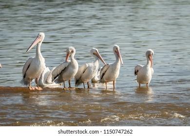 American White Pelican (Pelecanus erythrorhynchos) on a lakeshore
