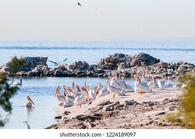 American White Pelican (Pelecanus erythrorhynchos) on Salton Sea, Imperial Valley, California, USA