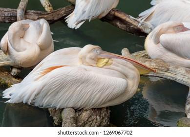 American white pelican, Pelecanus erythrorhynchos, a large aquatic soaring bird from the order Pelecaniformes. Close up