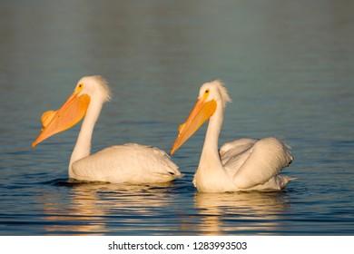 American White Pelican (Pelecanus erythrorhynchos), Riverlands Environmental Demonstration Area, Missouri, USA.