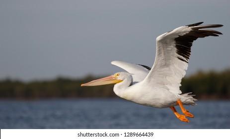 American White Pelican (Pelecanus erythrorhynchos) taking flight over the Gulf of Mexico - Florida