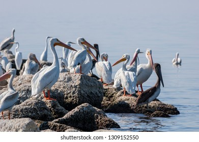 American White Pelican (Pelecanus erythrorhynchos) and Brown Pelican (Pelecanus occidentalis) on Salton Sea, Imperial Valley, California, USA