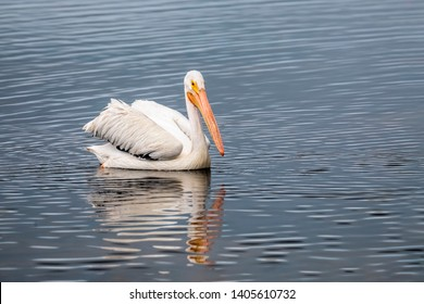 An American white pelican, Pelecanus erythrorhynchos, swims on a pond in Ding Darling National Wildlife Refuge on Sanibel Island, Florida.