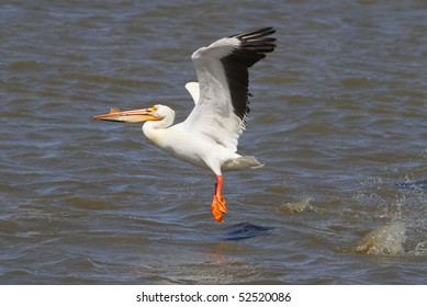 American White Pelican (Pelecanus erythrorhynchos) taking off from a lake in Northern California