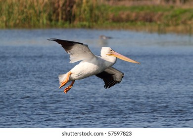 American White Pelican (Pelecanus erythrorhynchos) in flight