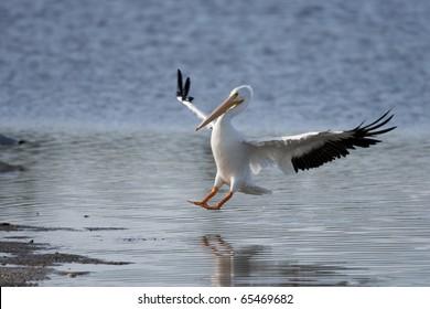 American White Pelican (Pelecanus erythrorhynchos) landing.