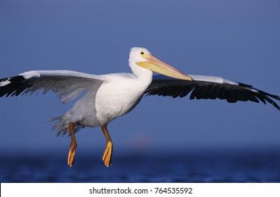 American White Pelican, Pelecanus erythrorhynchos, adult in flight landing, Rockport, Texas, USA, December