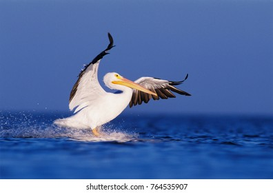 American White Pelican, Pelecanus erythrorhynchos, adult in flight landing, Rockport, Texas, USA, December