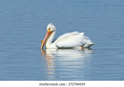 An American white pelican rests on the quiet water of Tule Lake in California.