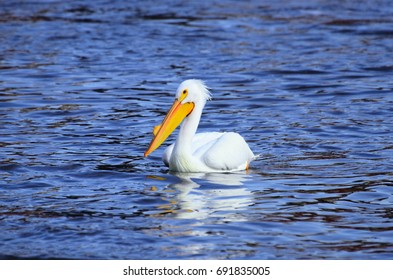 American White pelican sitting starkly on the blue waters of the Mississippi river in early spring feeding