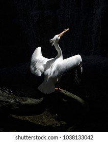 American White Pelican spread their wings on a black background, Central America, Mexico, (Pelecanus Erythrorthynchos)